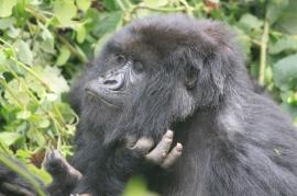 Female Gorilla Rwanda