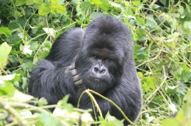 Gorilla Rwanda forest