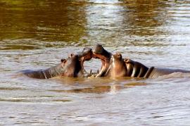 Hippo duel