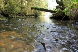 Pink salmon and small stream