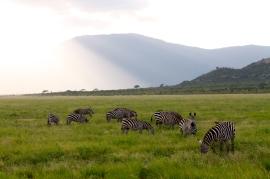 Zebras Tsavo East